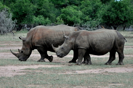 Why are the Black and White Rhinos' Survival in Jeopardy? | What's Happening to Africa's Rhino? | Scoop.it