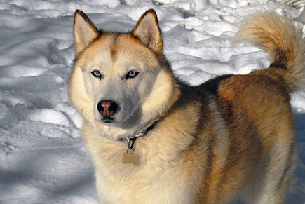 Best Dog Food for Huskies: What to Choose And Why | Animal Bliss | Animal Welfare | Scoop.it