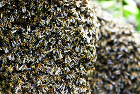 The True Hive Mind – How Honeybee Colonies Think | attention | Scoop.it