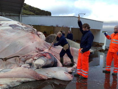 #Sixteen #FinWhales Hunted - Reykjavík Grapevine ~ They're #endangered Species!!! | Rescue our Ocean's & it's species from Man's Pollution! | Scoop.it