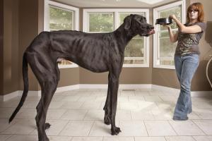 Zeus (près de deux mètres) est le chien le plus haut du monde (+ vidéo) | actu internet | Scoop.it