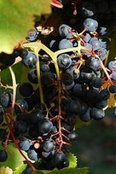 Scientists sequence genome of high-value grape, seek secrets of wine's aroma | Gastronomic Expeditions | Scoop.it