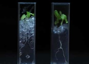 See-through soil reveals plant roots | The James Hutton Institute | Vertical Farm - Food Factory | Scoop.it