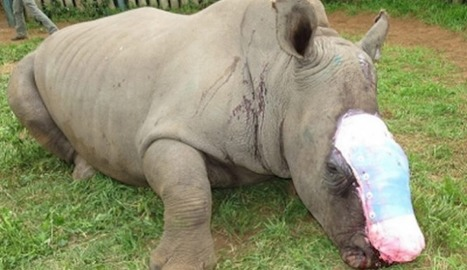 Rhino Mutilated By Poachers Is Given Second Chance By Helpers | What's Happening to Africa's Rhino? | Scoop.it