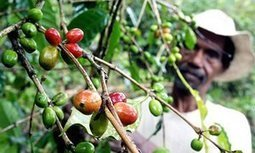 Coffee and climate change: what you need to know | CIHEAM Press Review | Scoop.it