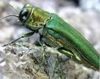 Small, green voracious bug threatens NC ash trees - WAVY-TV | sustainability topics | Scoop.it