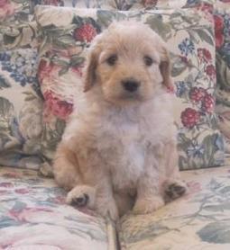 Now Get the Best Golden Doodle Breeder Puppies in MA | paulwright120 | Scoop.it