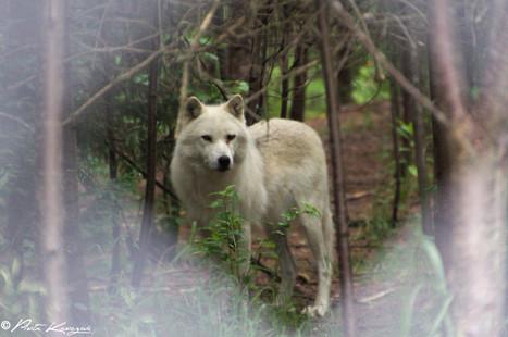 Danse avec les loups   Idées Destinations   Scoop.it