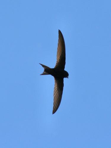 Devon Wildlife Trust | Swift Academy | Gierzwaluwen | Scoop.it