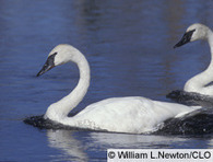 Trumpeter Swan, Identification, All About Birds | The Trumpet of the Swans | Scoop.it