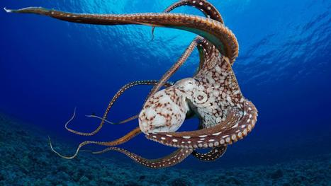 Octopus' blue blood allows them to rule the waves | Biosciencia News | Scoop.it