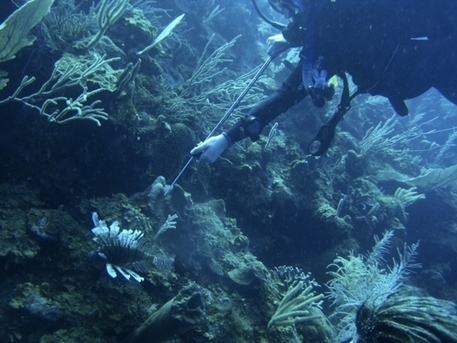 Lionfish hunting in Belize | Belize in Social Media | Scoop.it