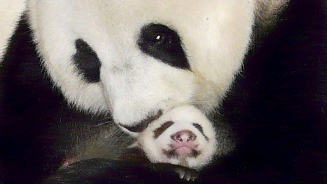 Celebrity Panda To Return To Thailand, For $1 Million A Year : NPR | Thailand Business News | Scoop.it
