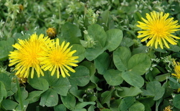 5 Good Weeds to Welcome in Your Garden | This Gives Me Hope | Scoop.it
