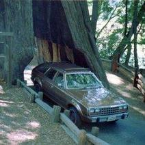 Drive THROUGH a Giant Redwood | Personal Shoppers | Scoop.it