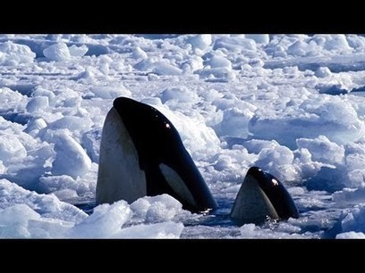 Climate Change Trapping Orcas In The Arctic | Reefs | Scoop.it