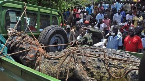 1-Ton, Man-Eating Crocodile Caught in Uganda | The Cafourek Lexicon Picayune | Scoop.it