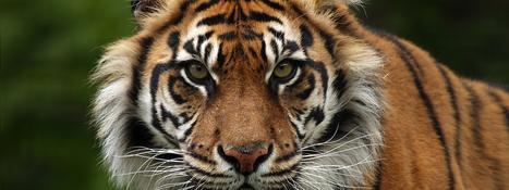 Sumatran Tiger   Species   WWF   Year 7 Science: Endangered Species – Tigers across Asia   Scoop.it
