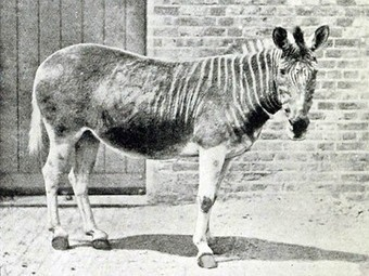 A Glimpse of What We've Lost: 10 Extinct Animals in Photos | Wildlife Trafficking: Who Does it? Allows it? | Scoop.it