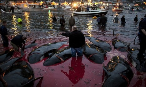 Blood in the water: Graphic pictures shed light on annual whale kill in the Faroe Islands dating back 400 years | All about water, the oceans, environmental issues | Scoop.it