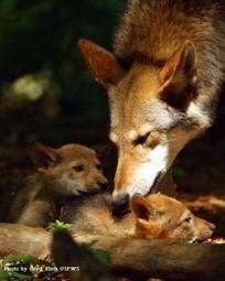 Animal Welfare Institute plans lawsuit over red wolf deaths   GarryRogers NatCon News   Scoop.it