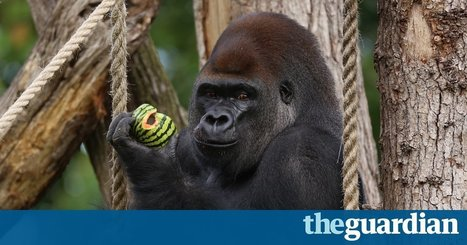 David Attenborough: zoos should use peepholes to respect gorillas' privacy | Eco issues | Scoop.it