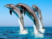Philippine court stops Solomon dolphins export | Earth Island Institute Philippines | Scoop.it