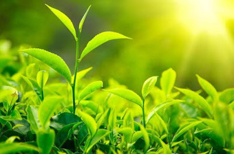 How to Choose the Best Green Tea From Market   Benefits of Green Tea   Health and Sleep   Scoop.it