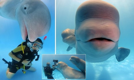 Hilarious moment friendly Beluga whale photobombs diver's snap | DiverSync | Scoop.it