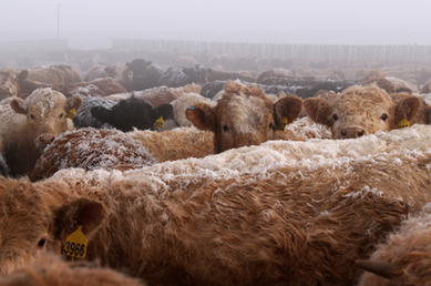 Grass Fed Beef Can SOLVE Global Warming | Local Food Systems | Scoop.it