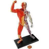Anatomía muscular y del esqueleto - Alianza Superior | Anatomía muscular y del esqueleto | Scoop.it