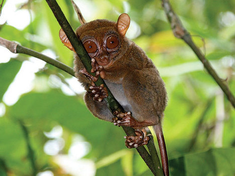 """""""Adorably Cute"""" Tiny Primate Discovery Illuminates Biodiversity of Philippines Island 