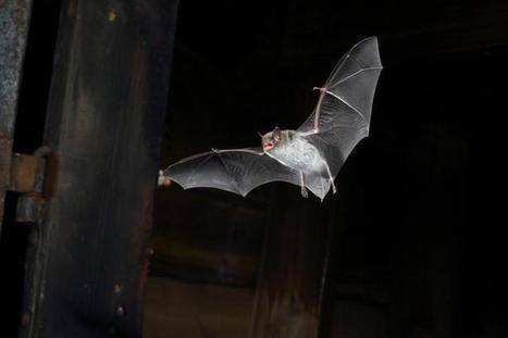 Public Release: 18-Mar-2015 Bats are surprisingly fast decision makers - EurekAlert (press release) | Bat Biology and Ecology | Scoop.it