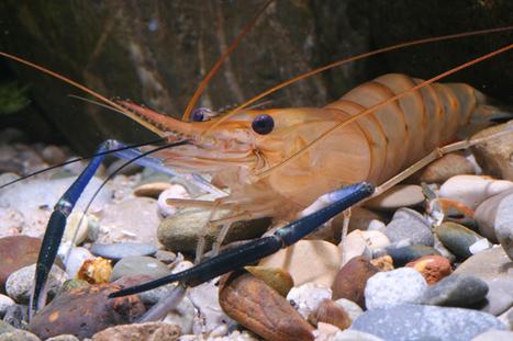 Les espèces d'eau douce font partie des espèces les plus menacées d'extinction | EntomoNews | Scoop.it