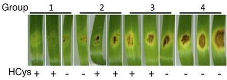 BMC Plant Biology: The necrotrophic effector protein SnTox3 re-programs metabolism and elicits a strong defence response in susceptible wheat leaves (2014) | Plants and Microbes | Scoop.it