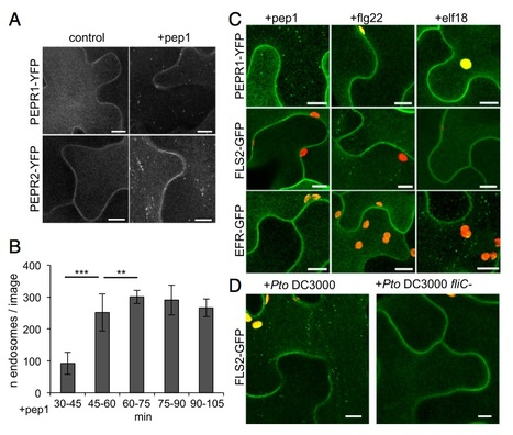 Clathrin-dependent endocytosis is required for immunity mediated by pattern recognition receptor kinases | Plant-microbe interaction | Scoop.it