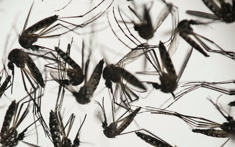 Infected mosquitoes to be released in Brazil and Columbia to battle Zika | CBRN | Scoop.it