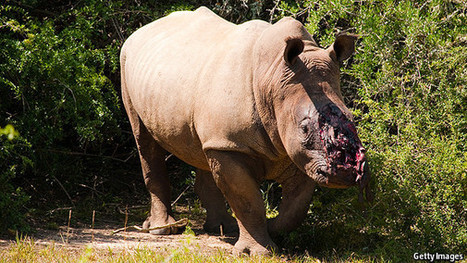 Un-marketing rhino horn | What's Happening to Africa's Rhino? | Scoop.it