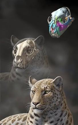 El fósil más antiguo de gran felino descubierto hasta ahora | La célula | Scoop.it