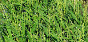 University of Arizona-led team decodes African rice | Ag Professional | CALS in the News | Scoop.it