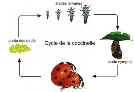 Caen: distribution de larves de coccinelles gratuites pour remplacer les pesticides dans votre jardin | Des 4 coins du monde | Scoop.it