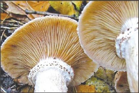 Plastic-eating mushrooms | Rainforest EXPLORER:  News & Notes | Scoop.it
