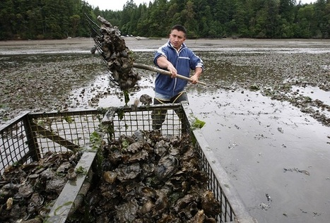 Acidic Waters Kill 10 Million Scallops Off Vancouver | Sustain Our Earth | Scoop.it