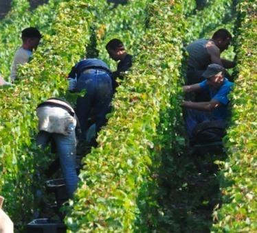 Champagne : le poids économique et social des vendanges   Grande Passione   Scoop.it