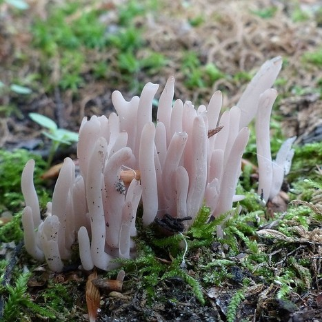 Photos de Champignons du Québec : Clavaire pourprée - Clavaria purpurea - Purple spindles - Purple club coral - Alloclavaria purpurea | Faaxaal Forum Photos gratuite Faune et Flore | Scoop.it