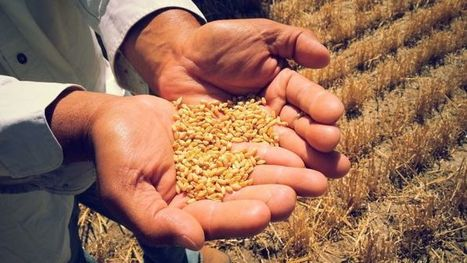 Australia: Queensland researchers say traits found in ancient wheat strains could be the key to protecting future crops | WHEAT | Scoop.it