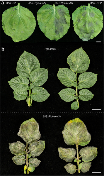 Nature Biotech: Accelerated cloning of a potato late blight–resistance gene using RenSeq and SMRT sequencing (2016) | Plants and Microbes | Scoop.it