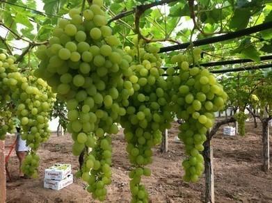 Sicilië: druivenoogst 10-15% groter | La Gazzetta Di Lella - News From Italy - Italiaans Nieuws | Scoop.it