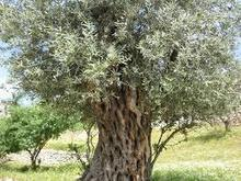 The Medicinal Benefits of an Olive Tree | health | Scoop.it