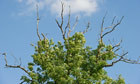 Can ash dieback be stopped in the UK? | Wildlife and Environmental Conservation | Scoop.it